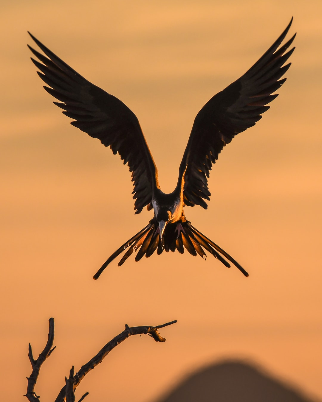 A Magnificent Frigate bird comes in for a pre-dawn landing on the Sea of Cortez.