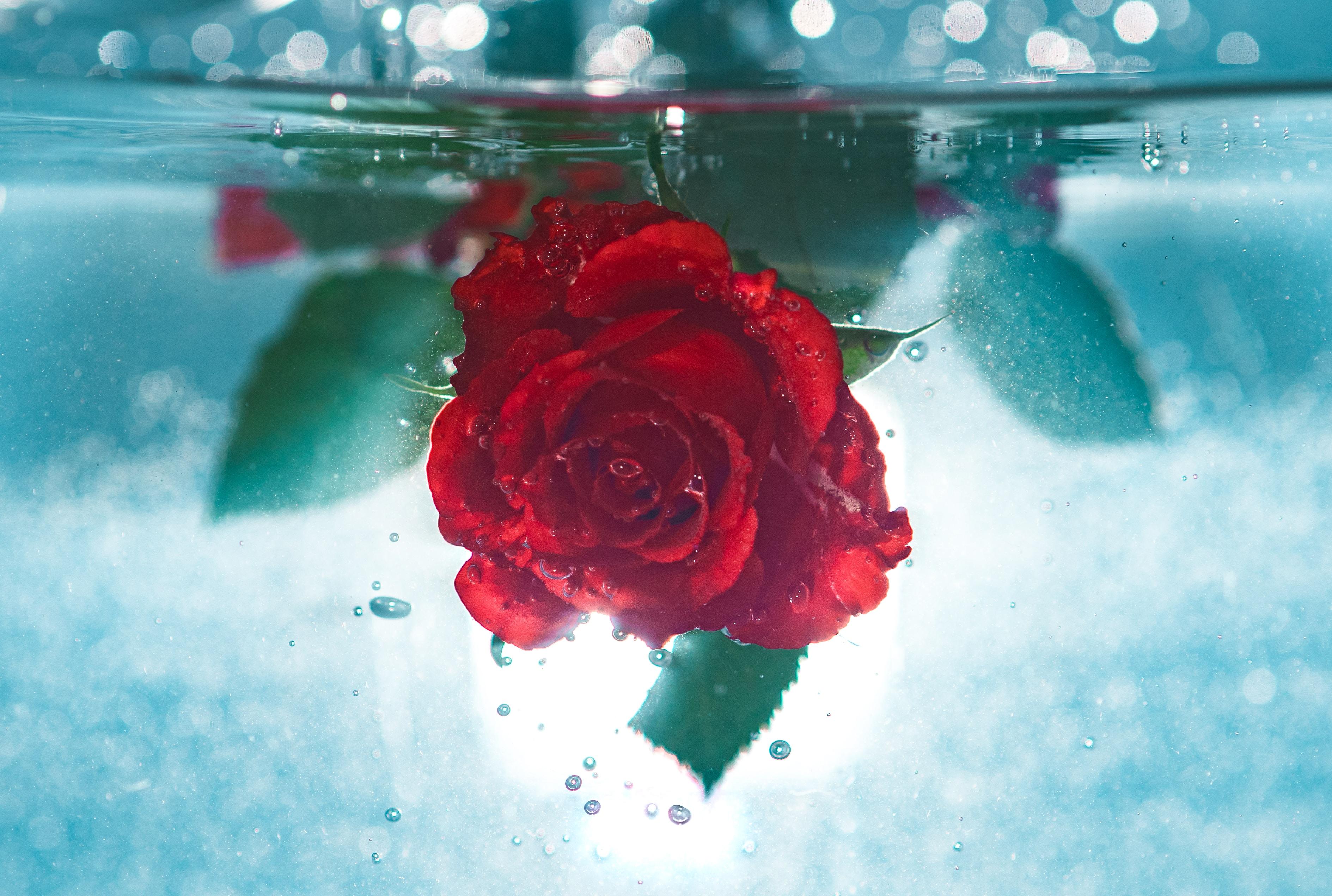 red rose underwater