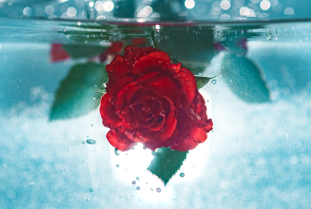 red rose underwater