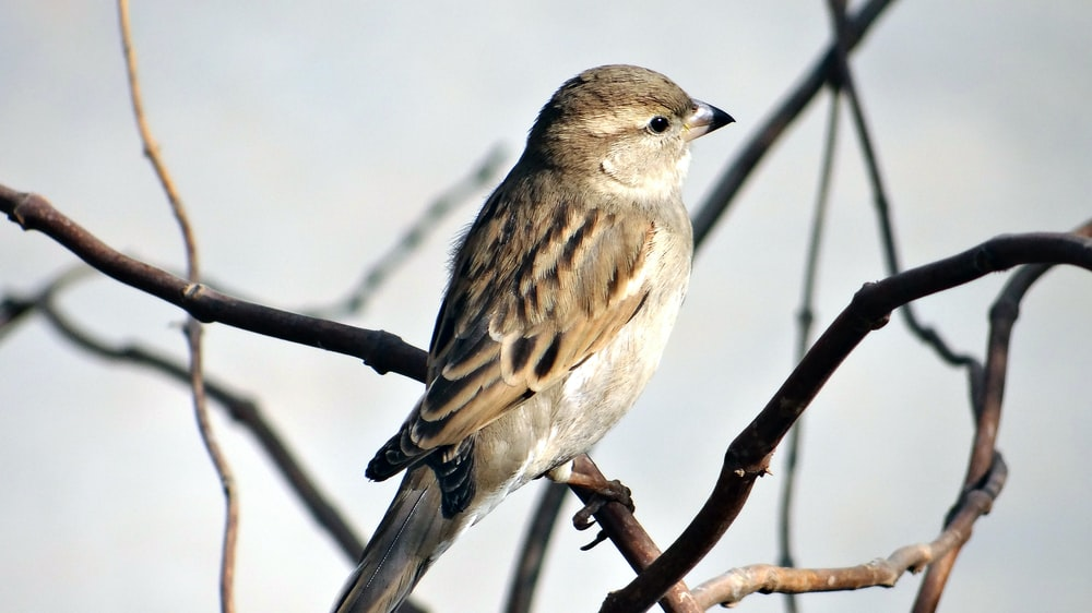 selective focus photography of sparrow standing on branch