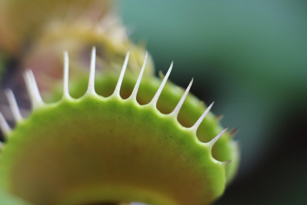macro photography of Venus flytrap plant