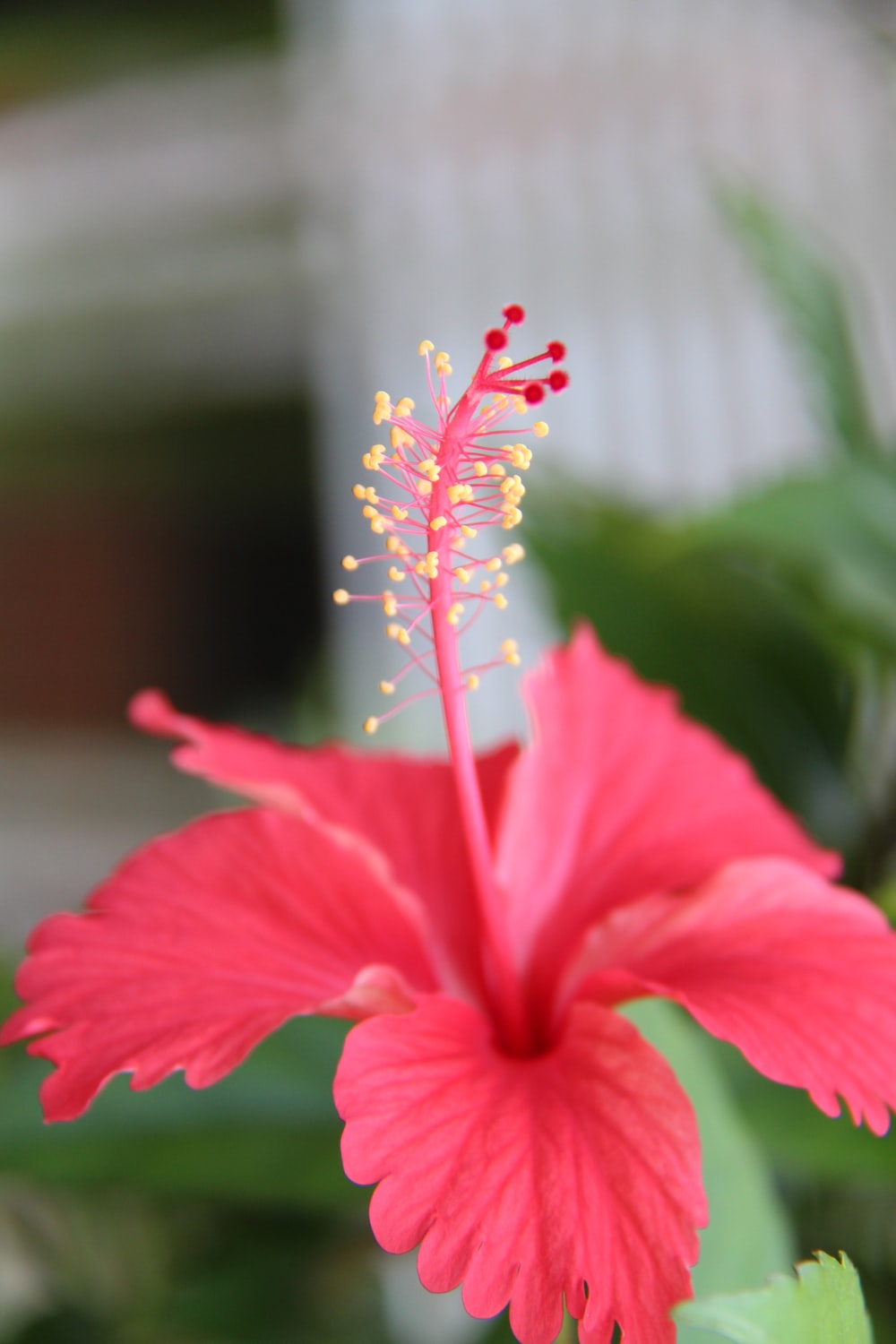 Best 100 hibiscus flower pictures download free images on unsplash pink hibiscus flower izmirmasajfo