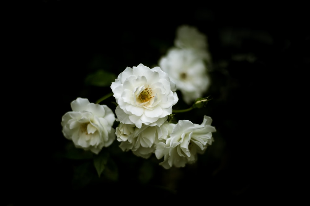 selective focus photography of white rose flowers