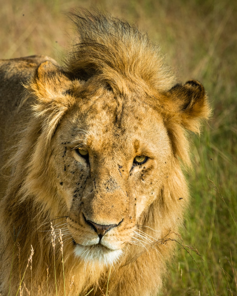 selective focus photography of brown lion near grasses