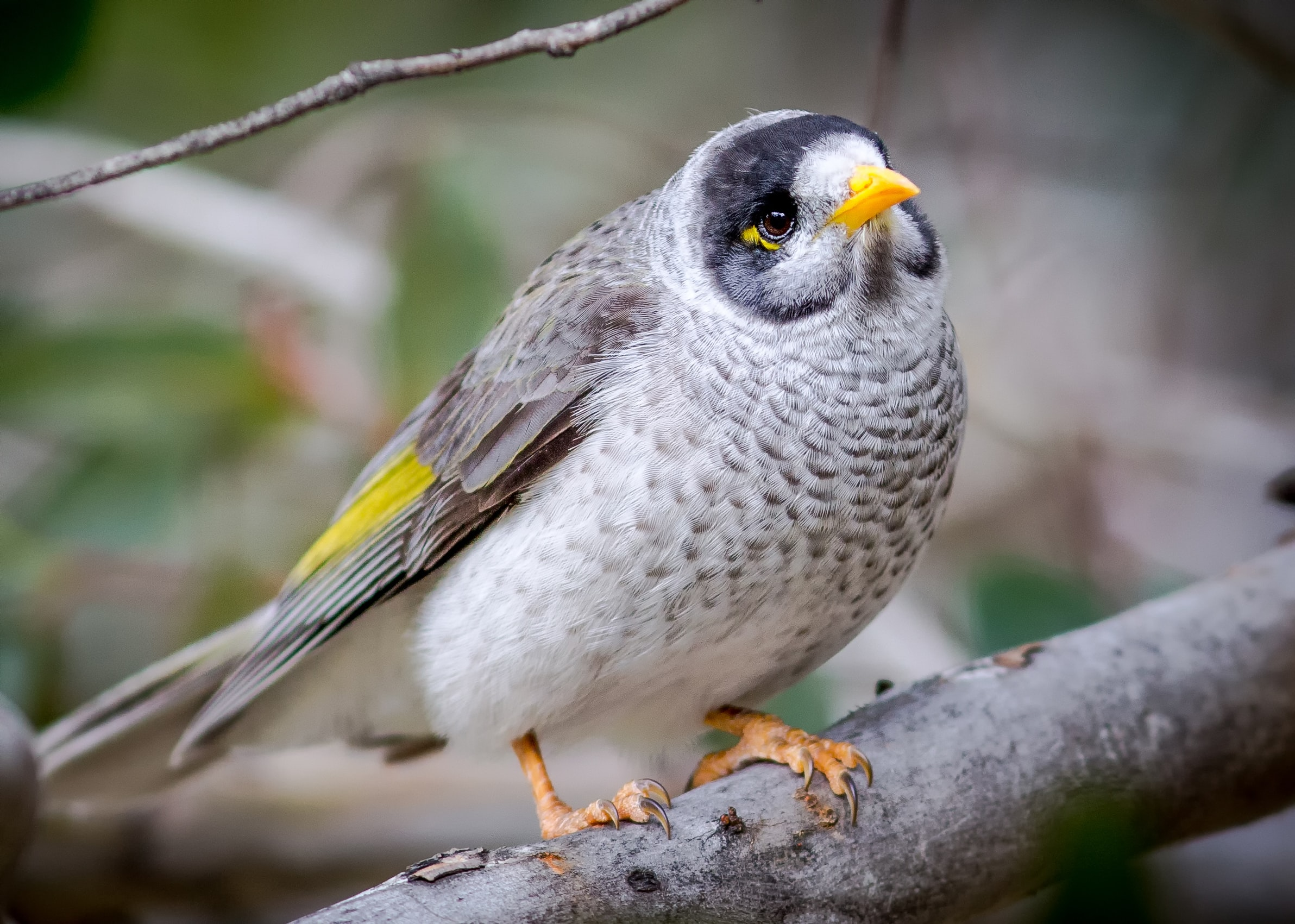 white and yellow bird on gray branch