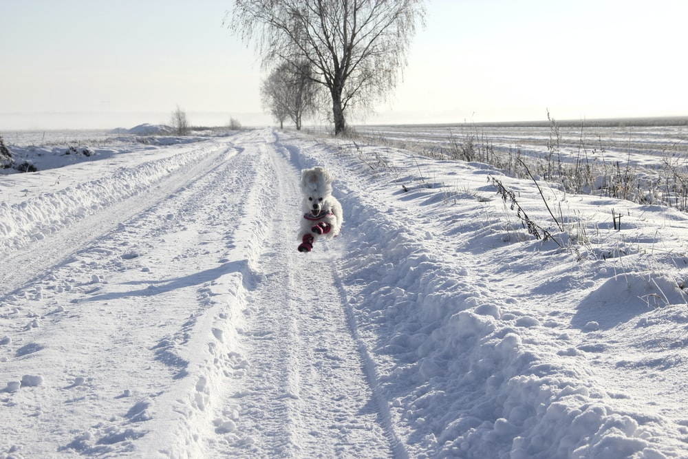 long-coated white puppy running on snow surface