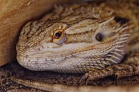 depth photography of breaded dragon