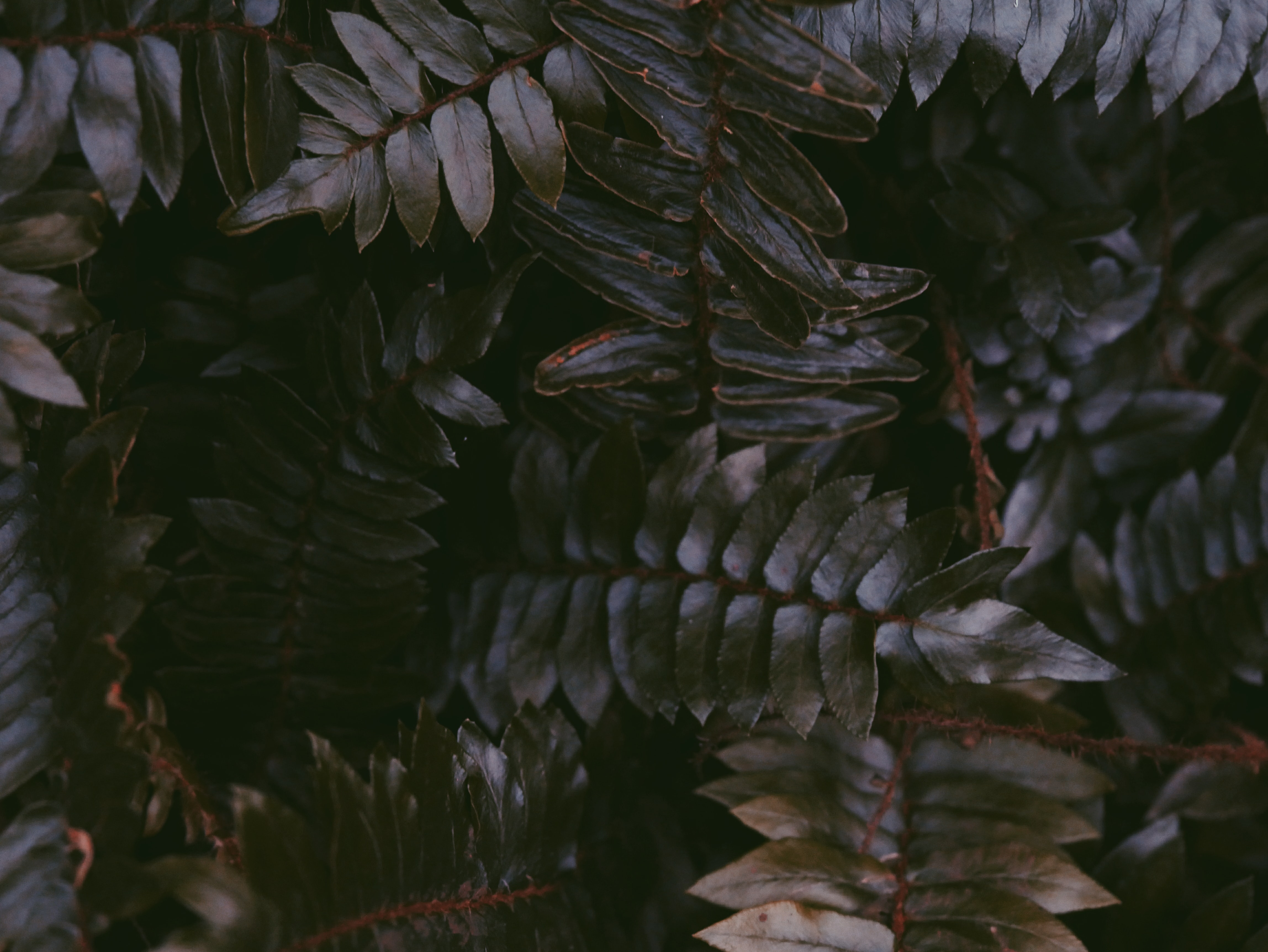 black leafed plant in macro shot photography