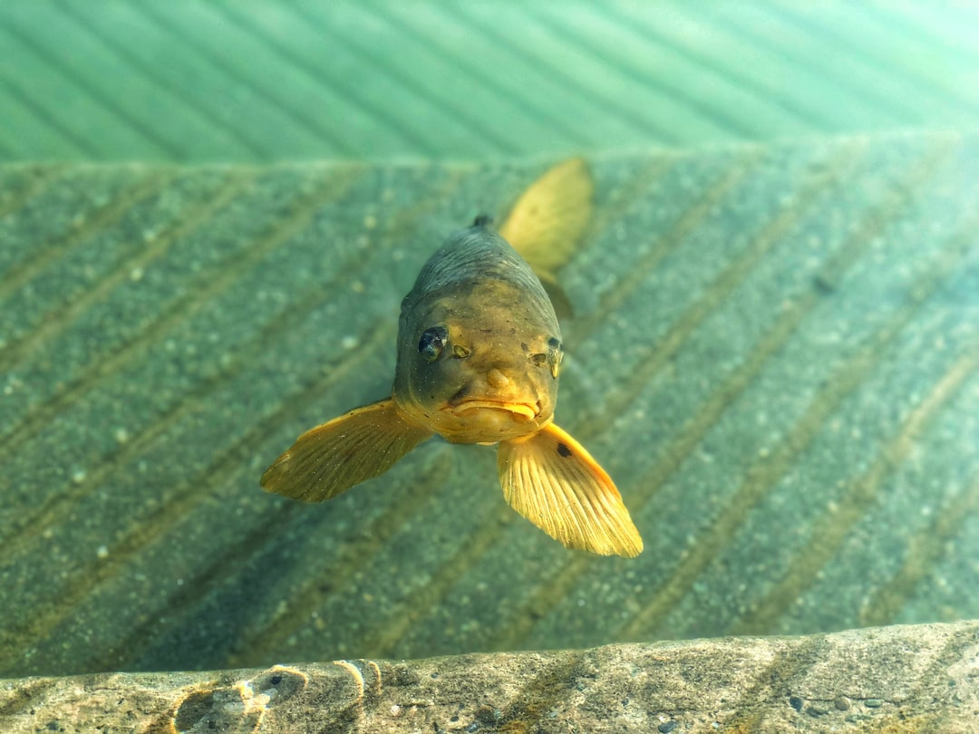 Golden Fish at Golden Temple