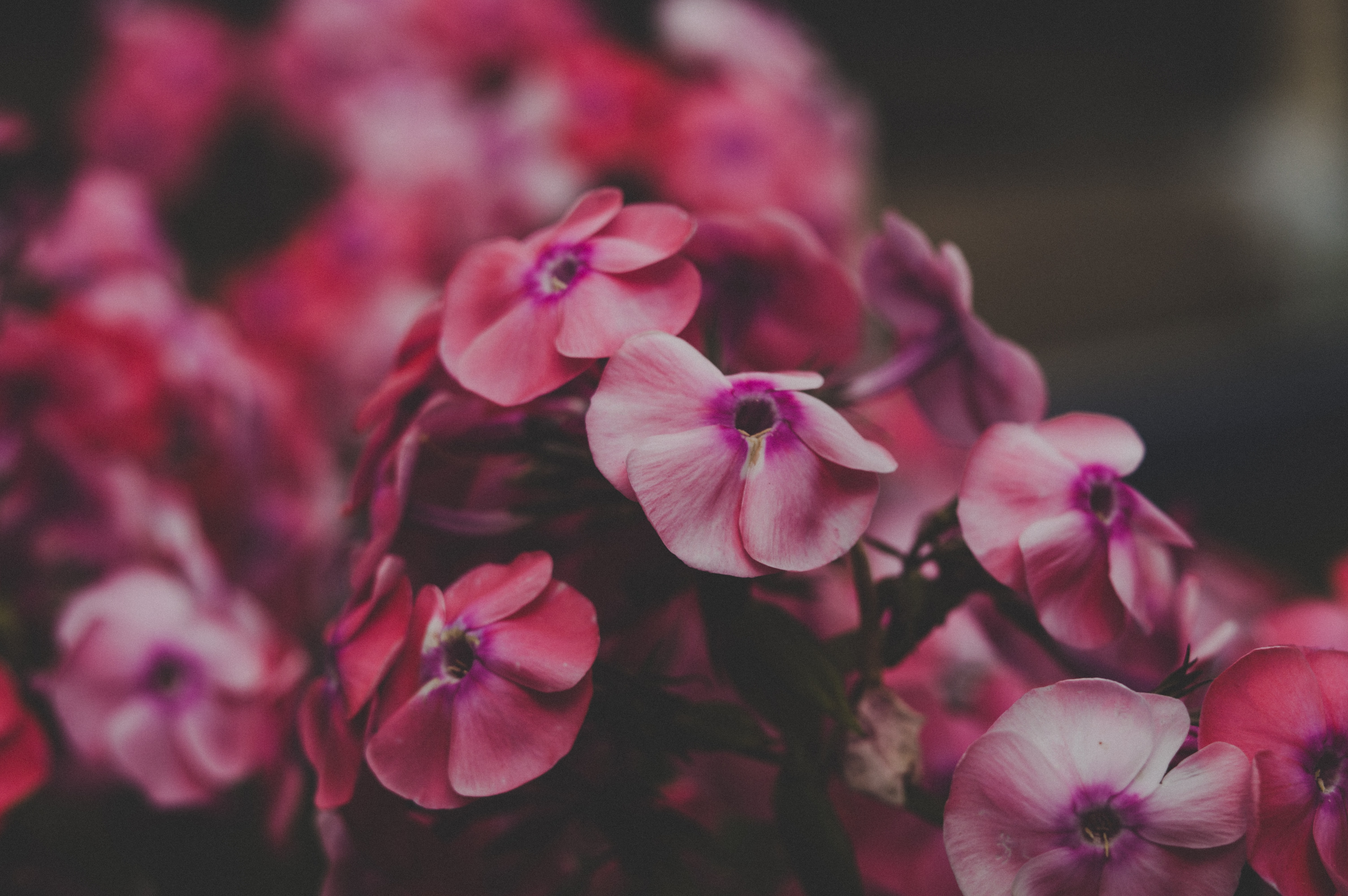 pink petaled flowers close-up photo