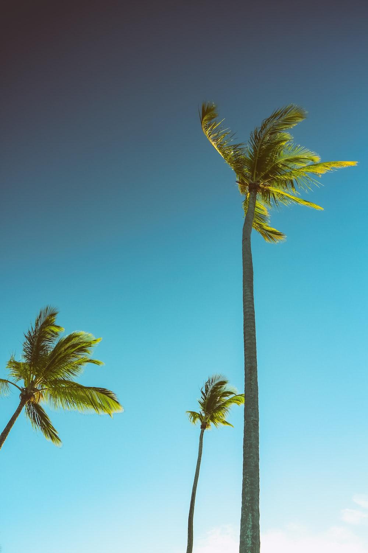 three green palm trees under blue sky