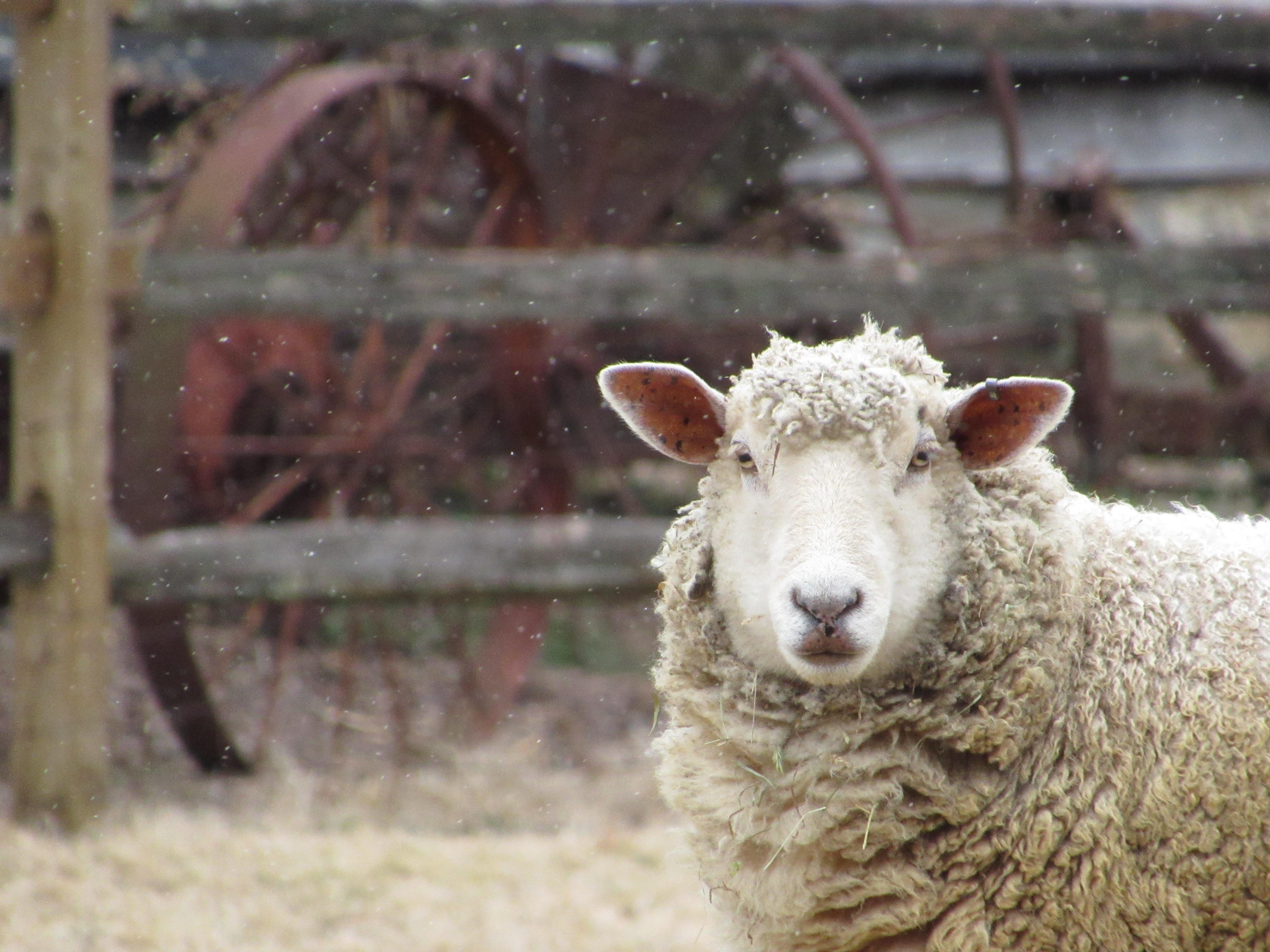 wildlife photography of sheep