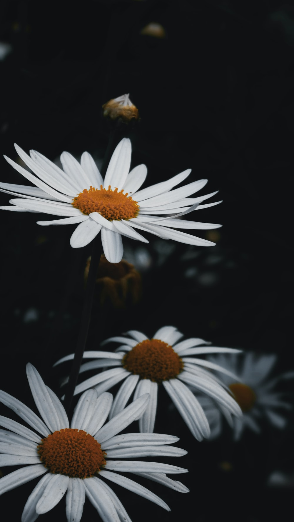 500 daisy pictures download free images on unsplash shallow focus photo of white daisy flowers izmirmasajfo