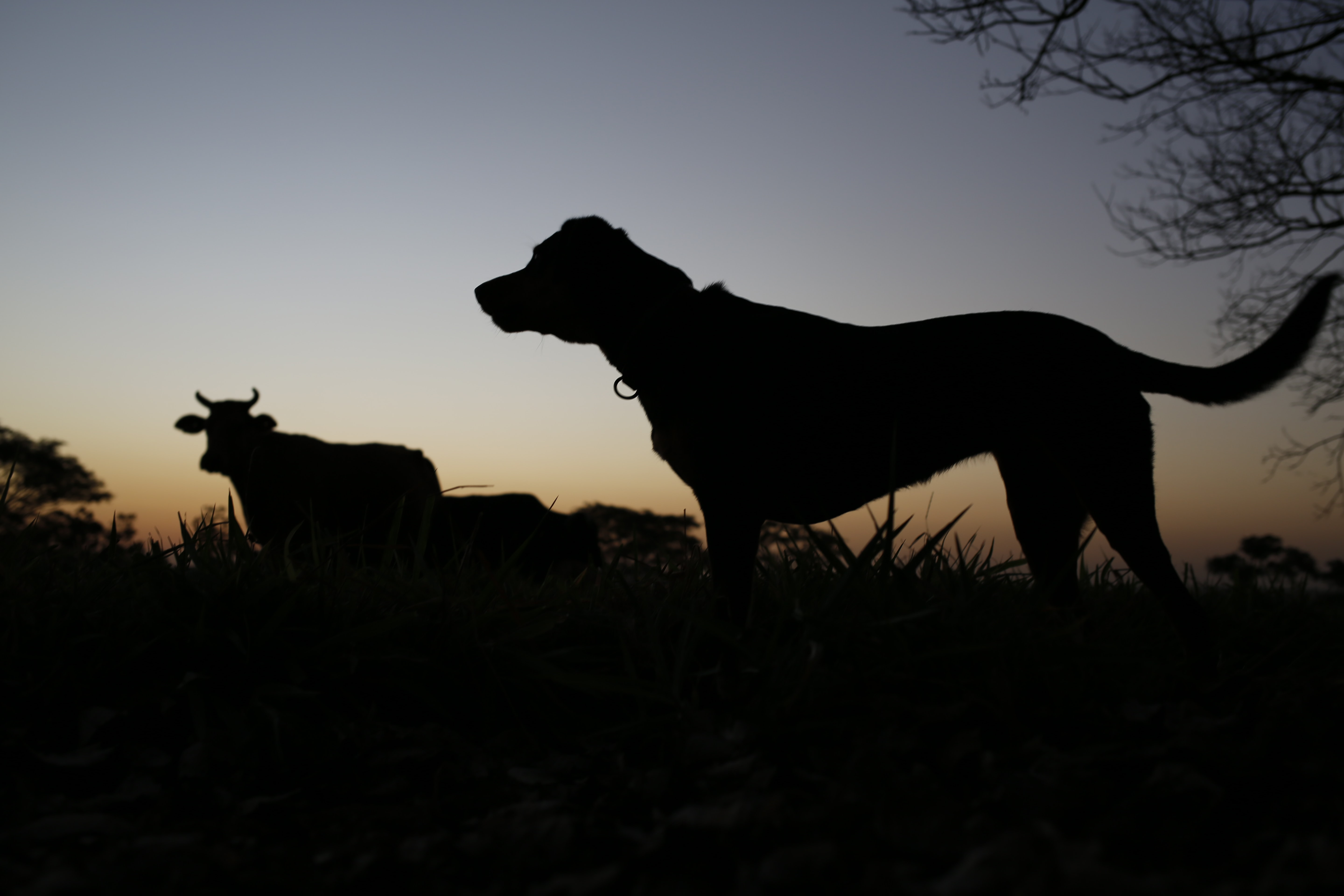 silhouette photo of dog and cow