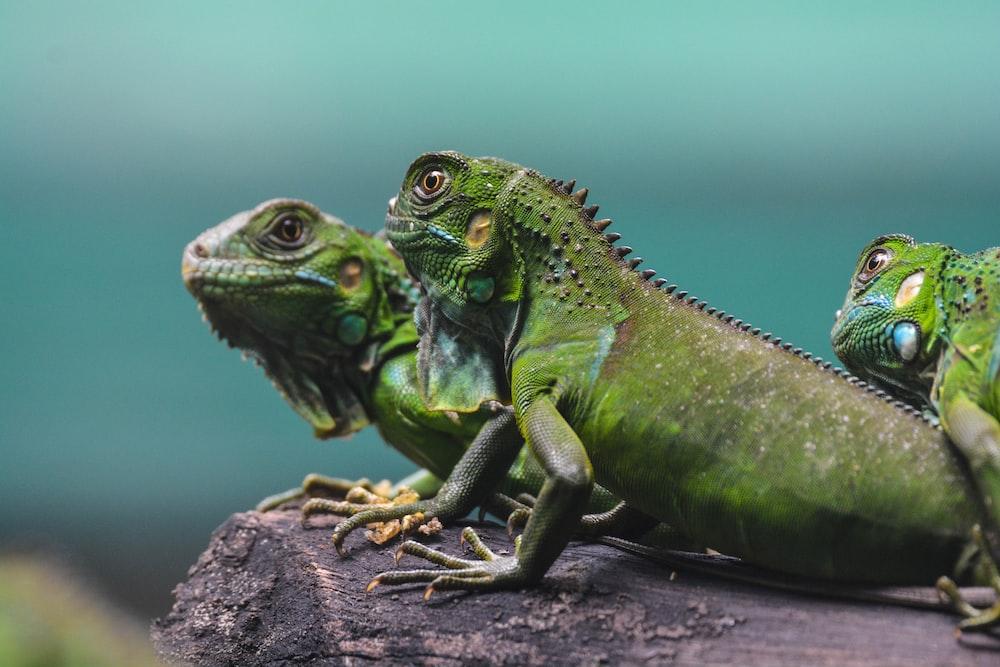 three green bearded dragons