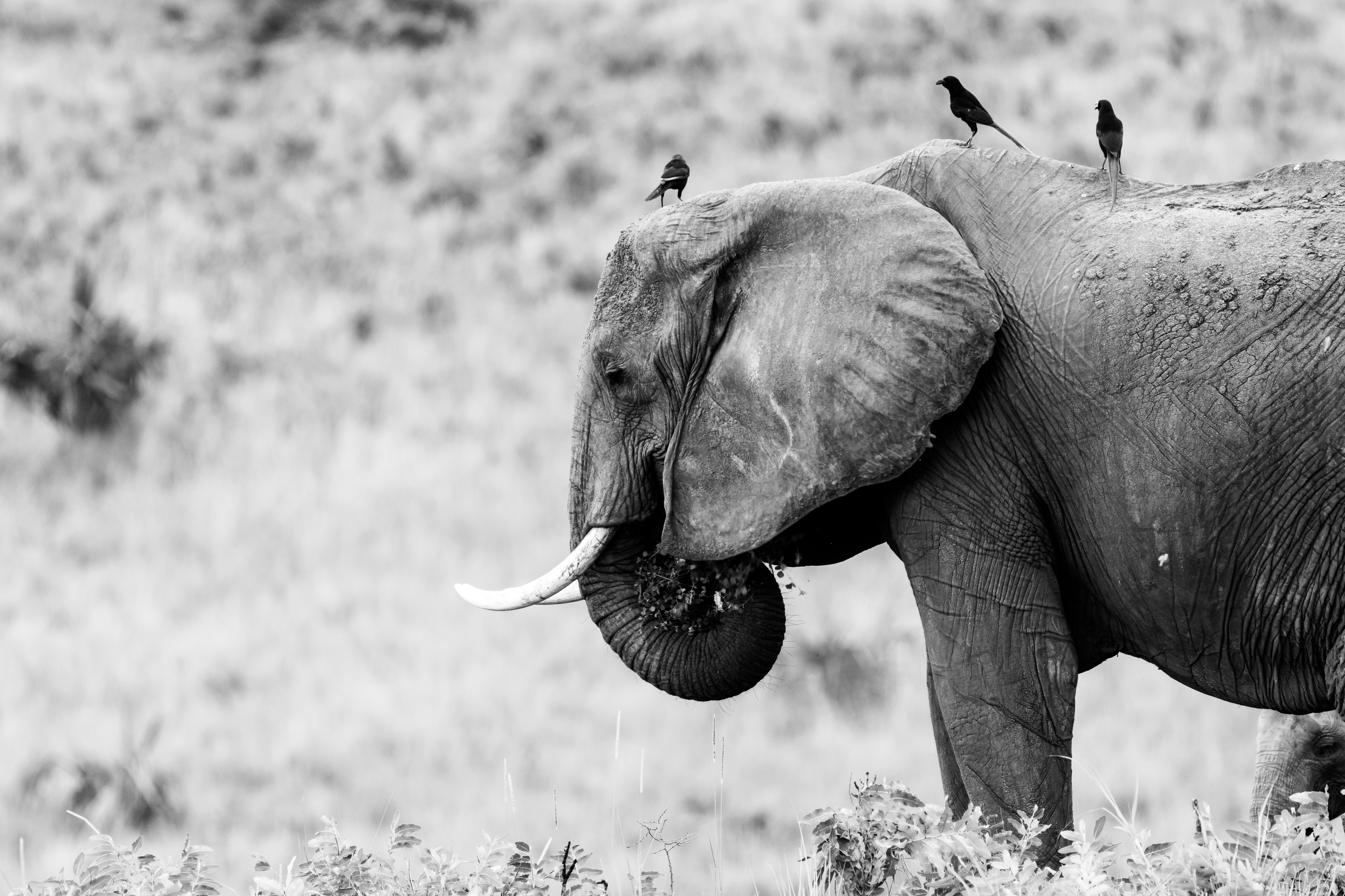 grayscale photography of elephant