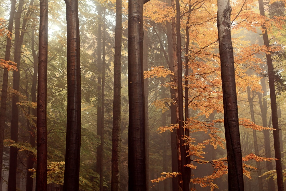 brown leafed trees digital wallpaper