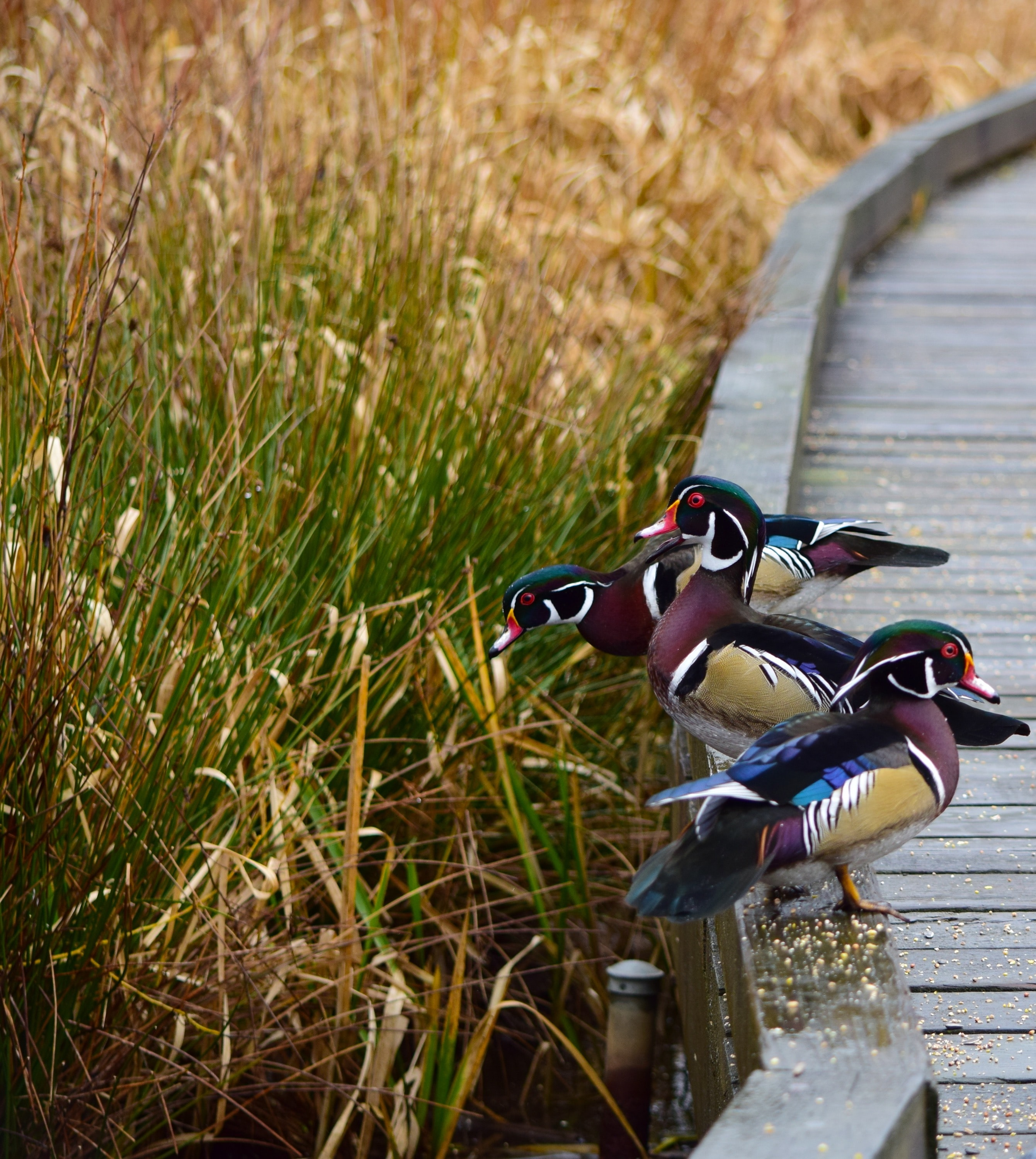 three assorted-color duck beside green grass at daytime