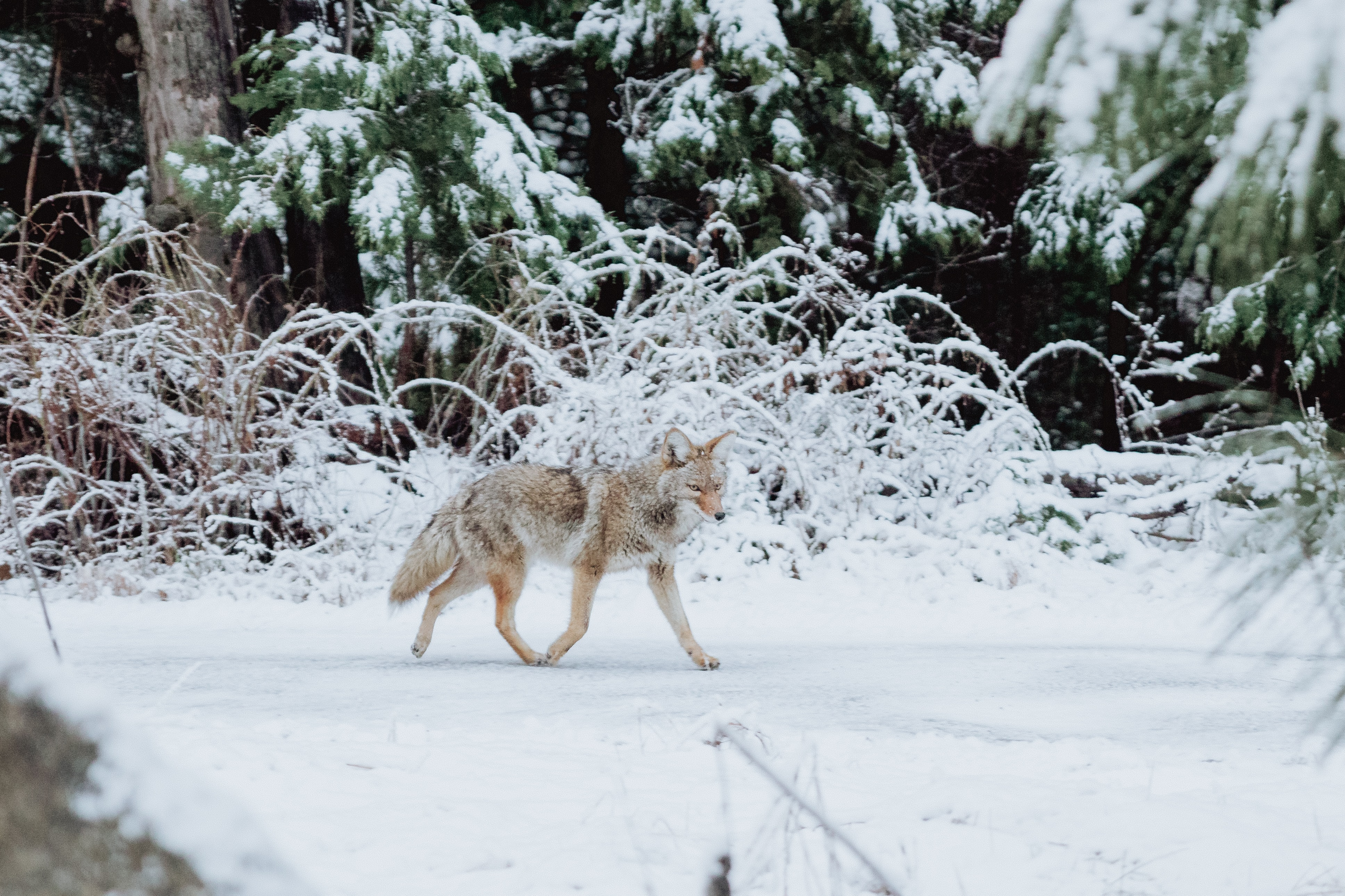 gray wolf walking on snow