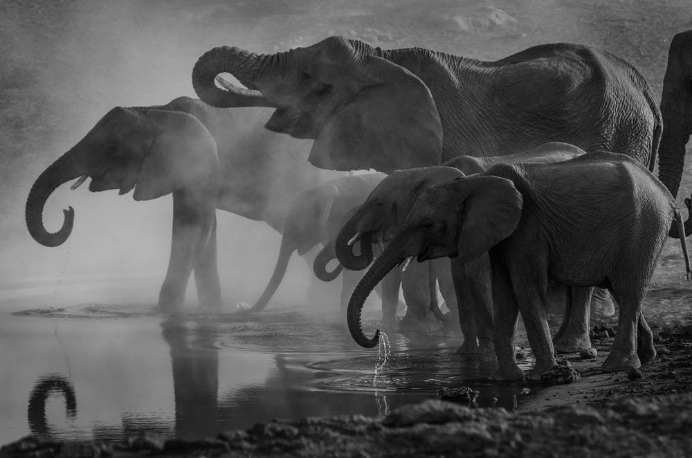 grayscale photo of elephants drinking water