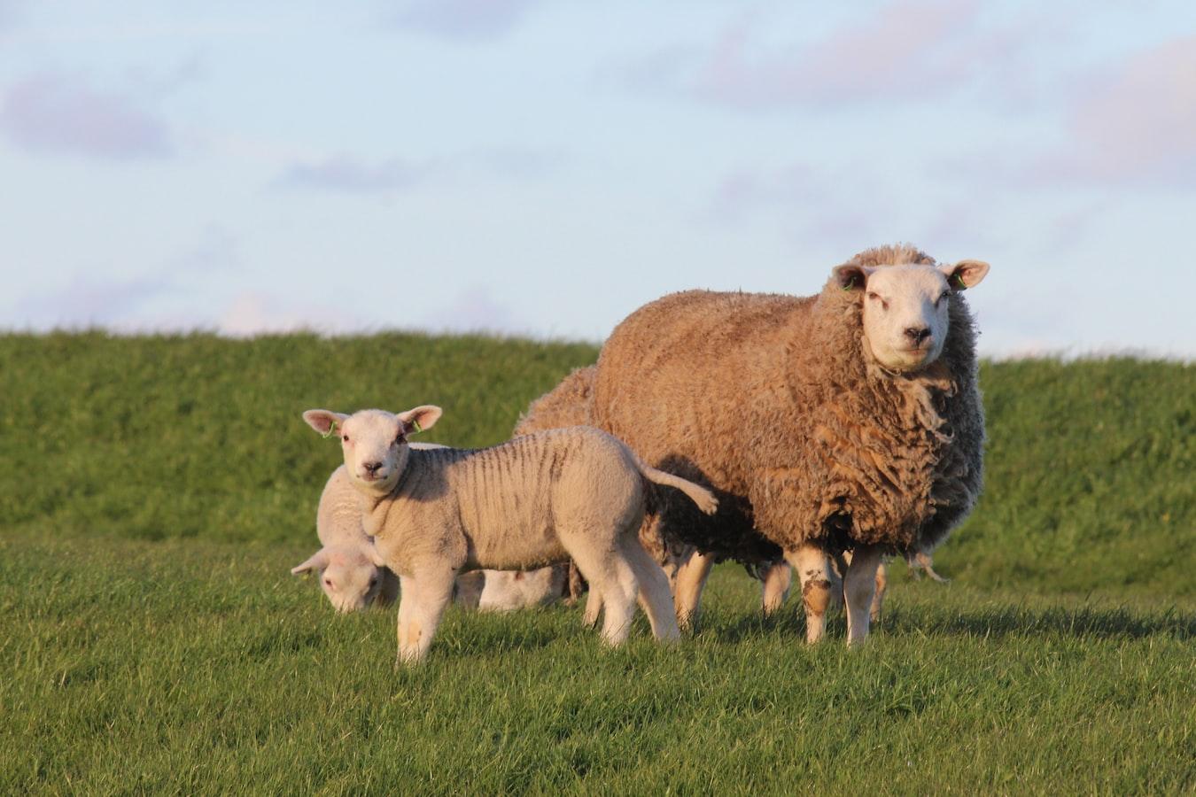 Een schaap met haar lammetje in het gras op de dijk.