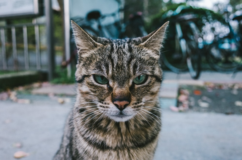selective-focus photograph of brown tabby cat