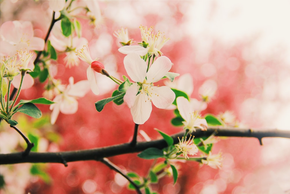 close-up photography of white cherry blossom flower