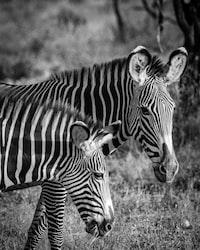 grayscale photo of zebras