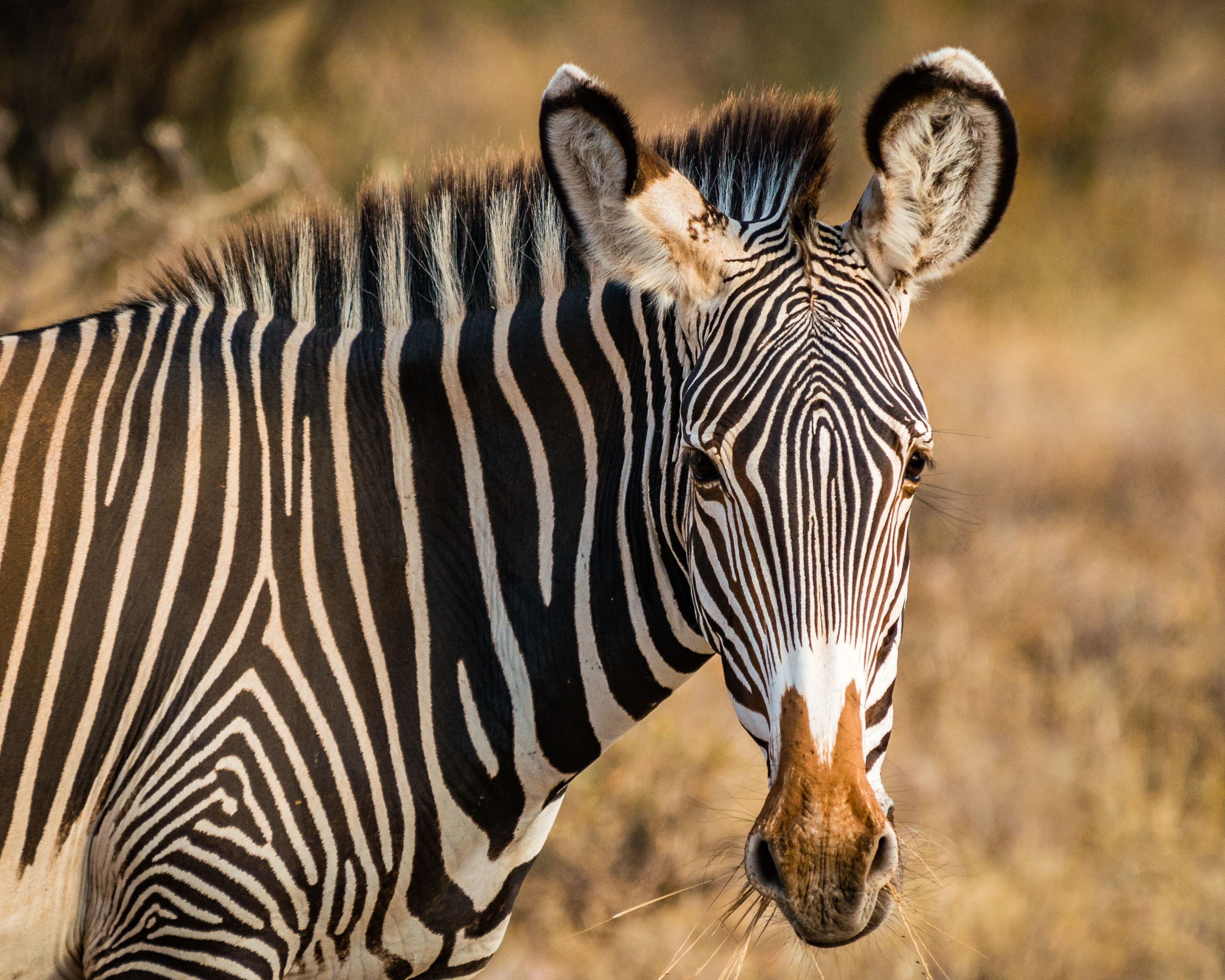 zebra standing on field