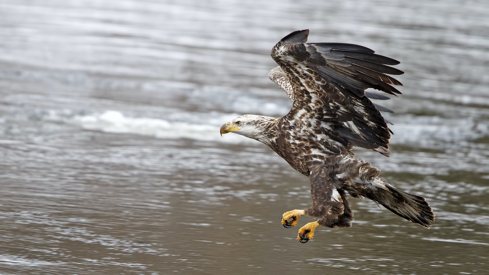 bald eagle about to land