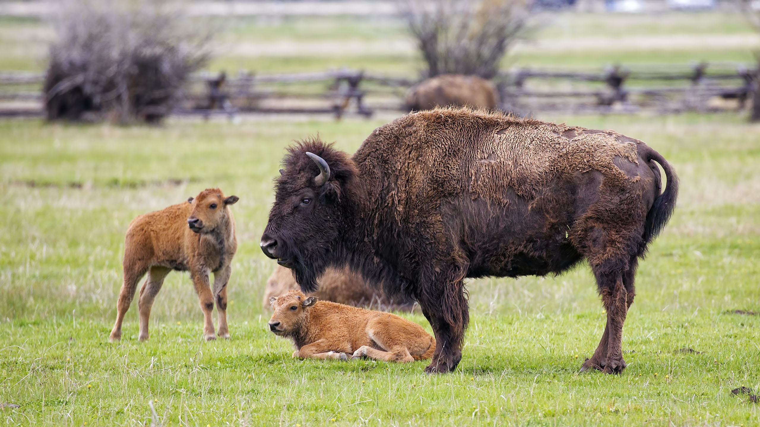 brown American bison on green grass at daytime