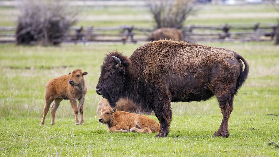 Oh Give Me a Home Where The Bison Roam