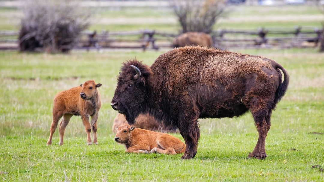 Bison with young