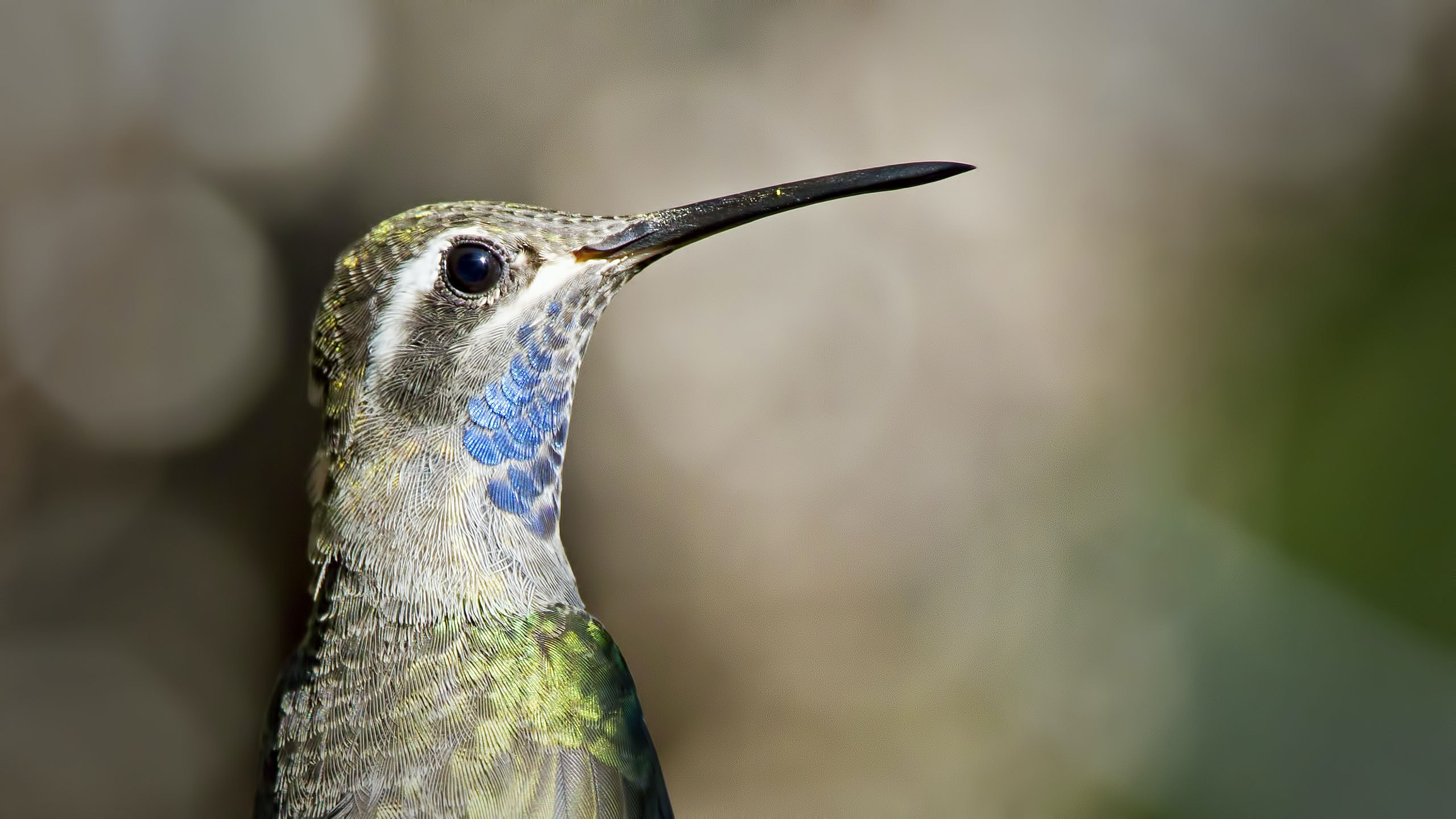 gray and blue humming bird