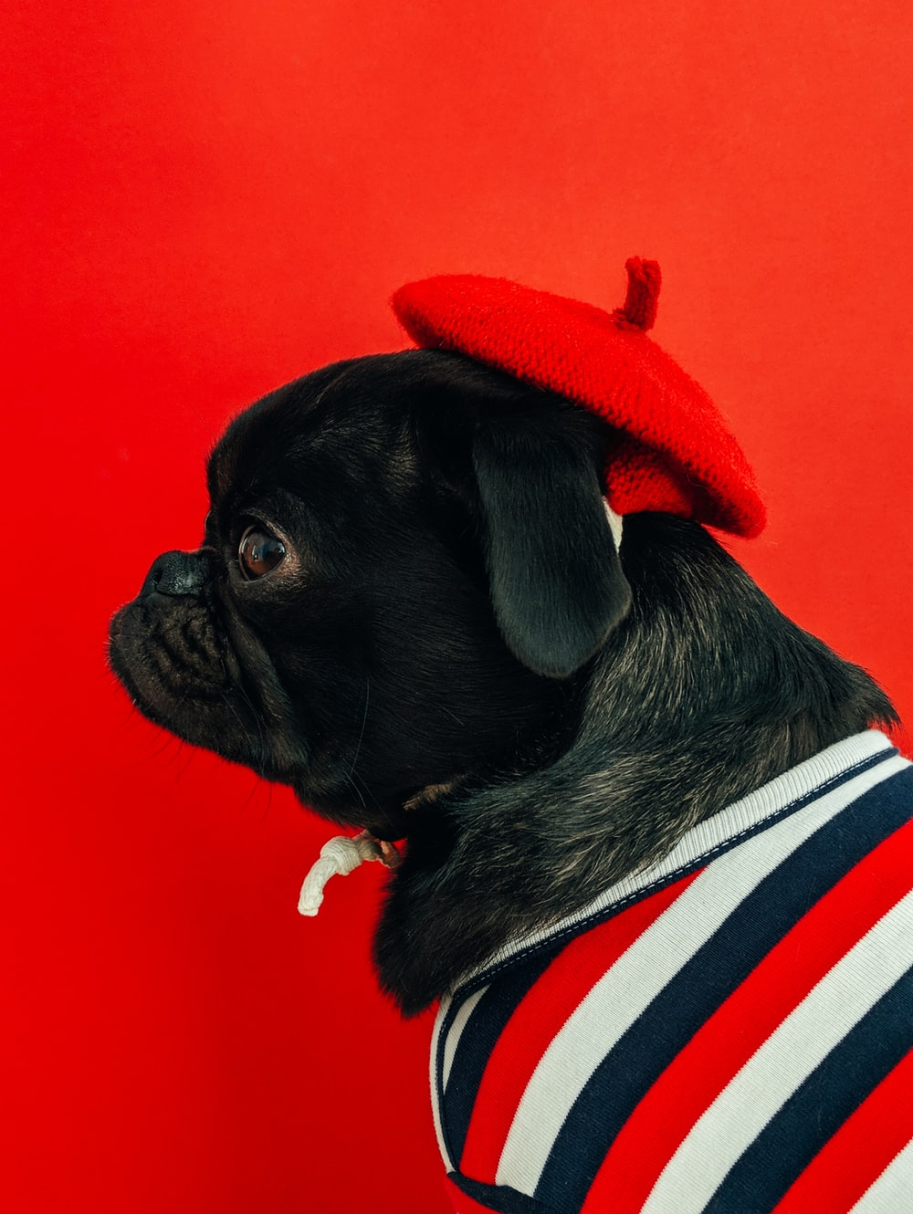 black fawn pug wearing white and red striped shirt