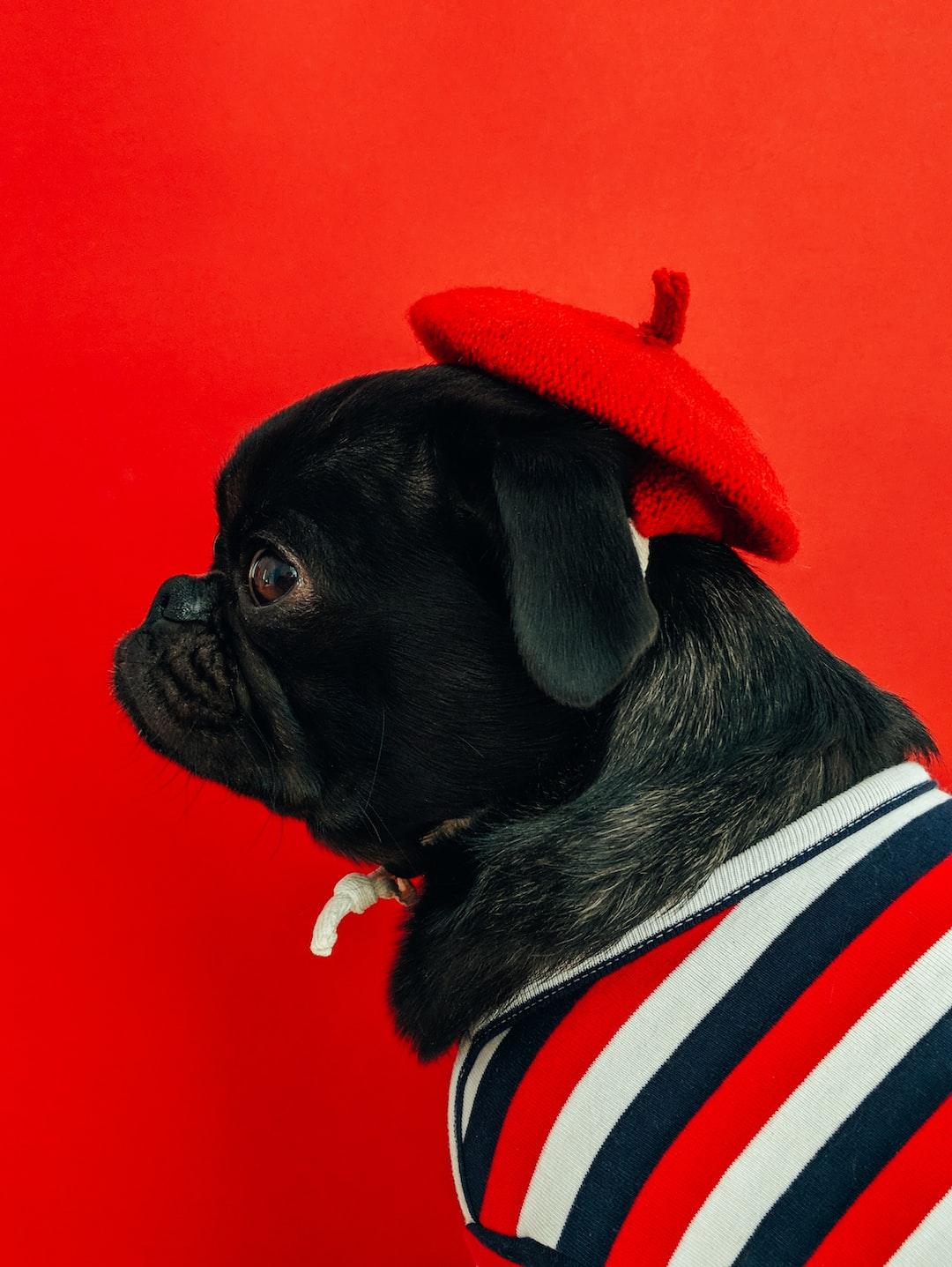 Toshi (https://www.instagram.com/toshi.dog/) wearing a beret.