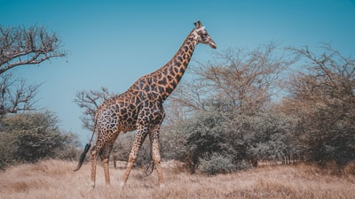 wildlife photography of giraffe near trees senegal zoom background