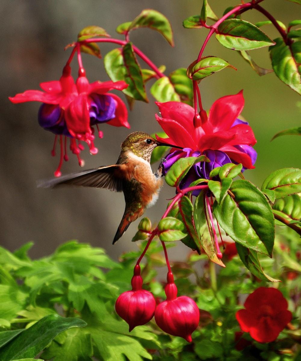wildlife photography of brown hummingbird near red petaled flower