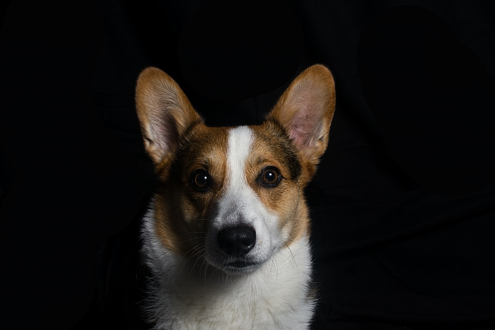 brown and white corgi in front of black textile