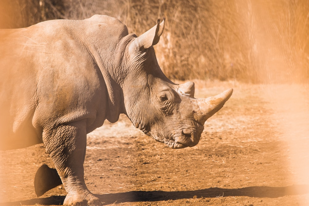 gray rhinoceros on brown soil