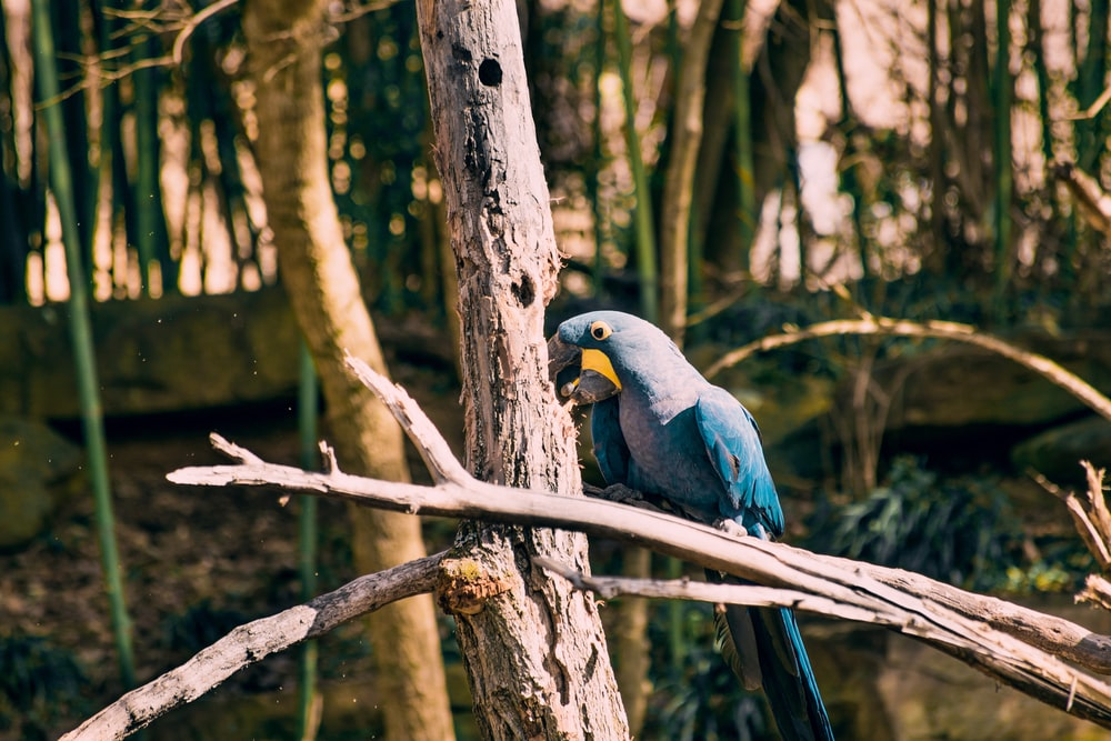 blue parrot on tree branch