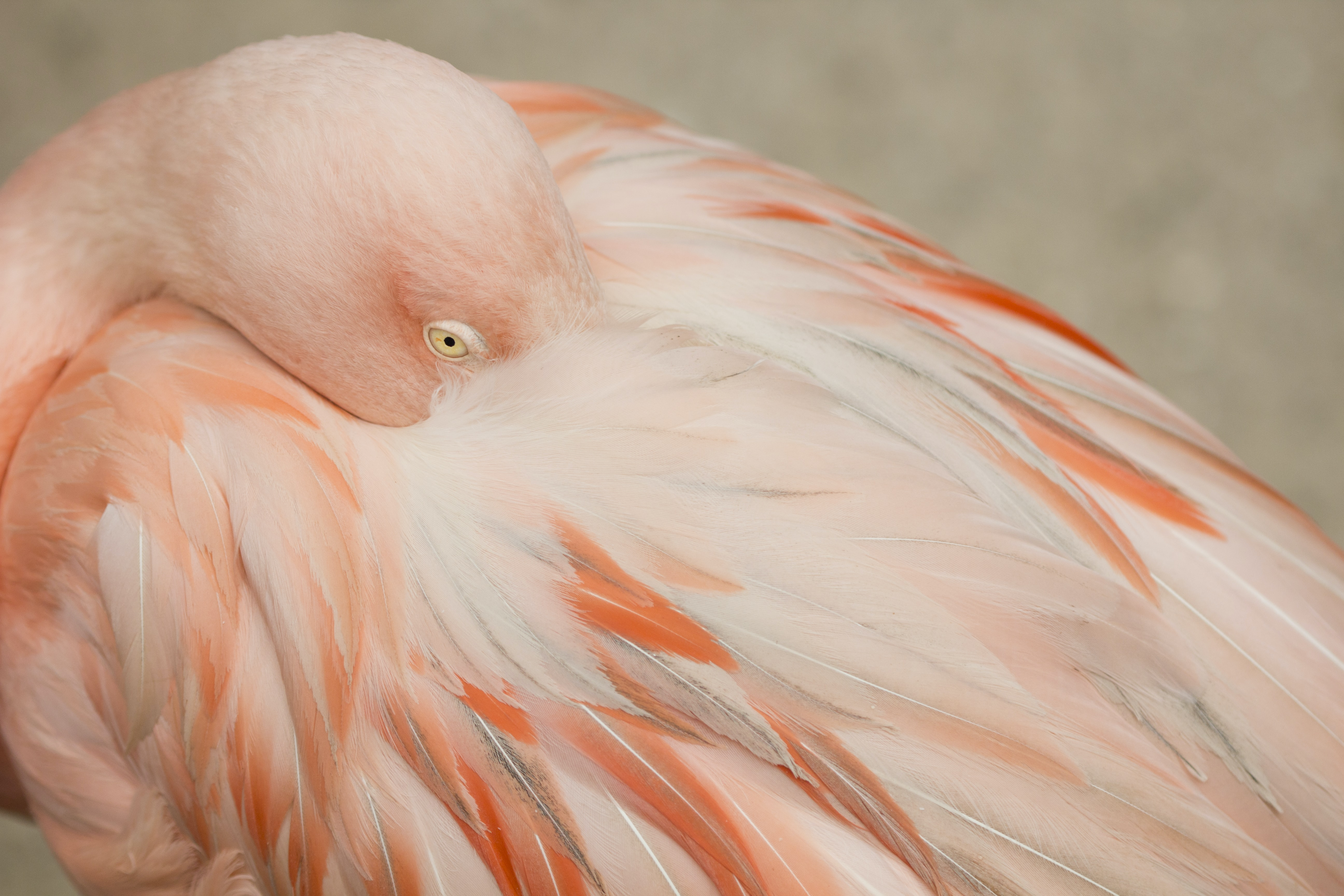 selective focus photograph of flamingo