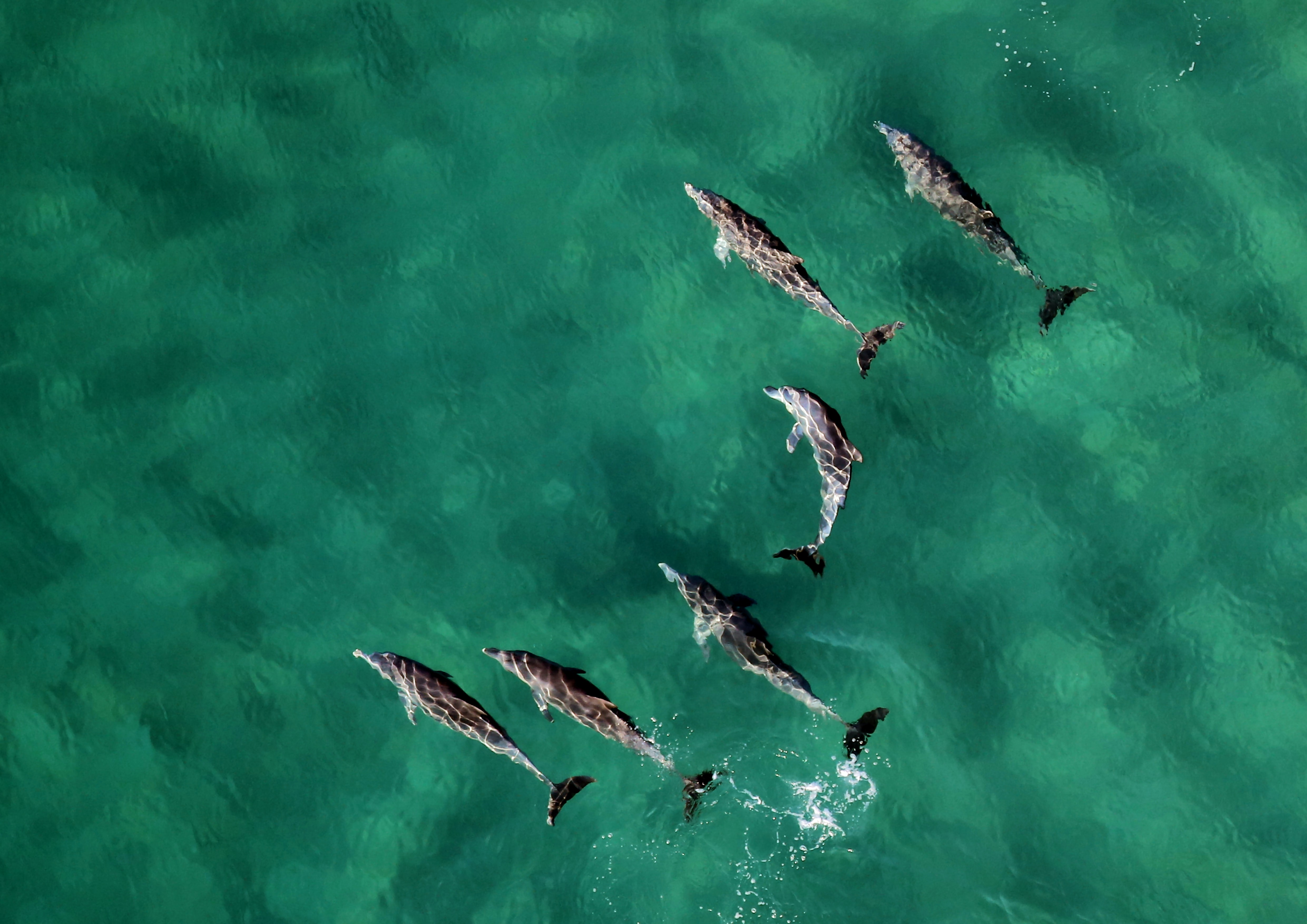 six dolphins at calm water