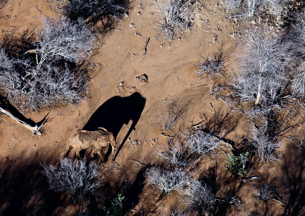 top view photography of elephant