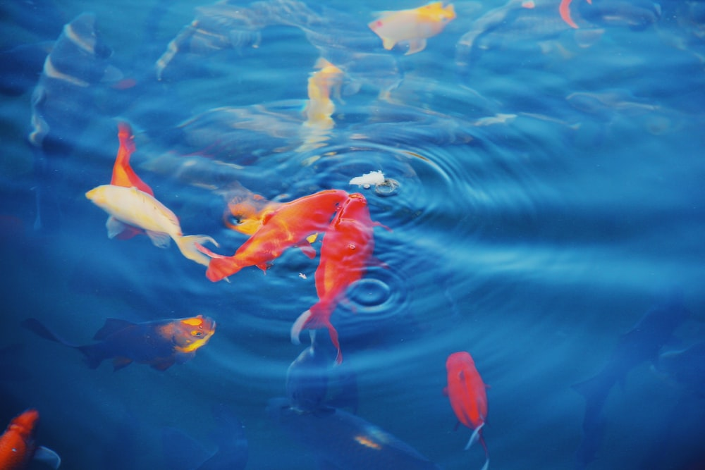 photo of goldfish and blue water at daytime