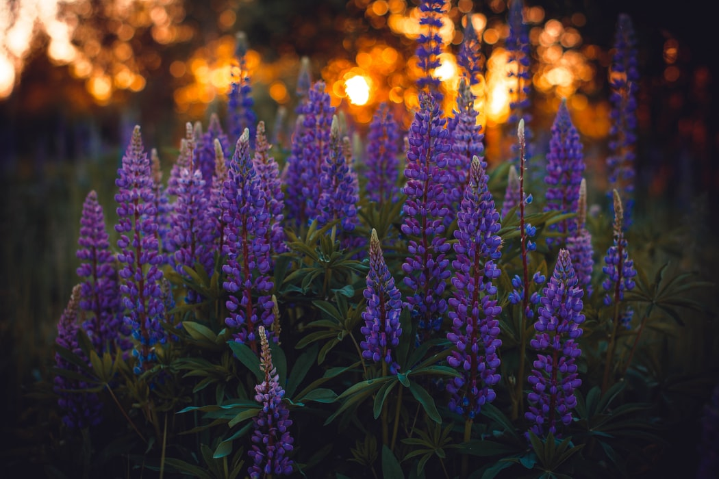 how to grow lupines