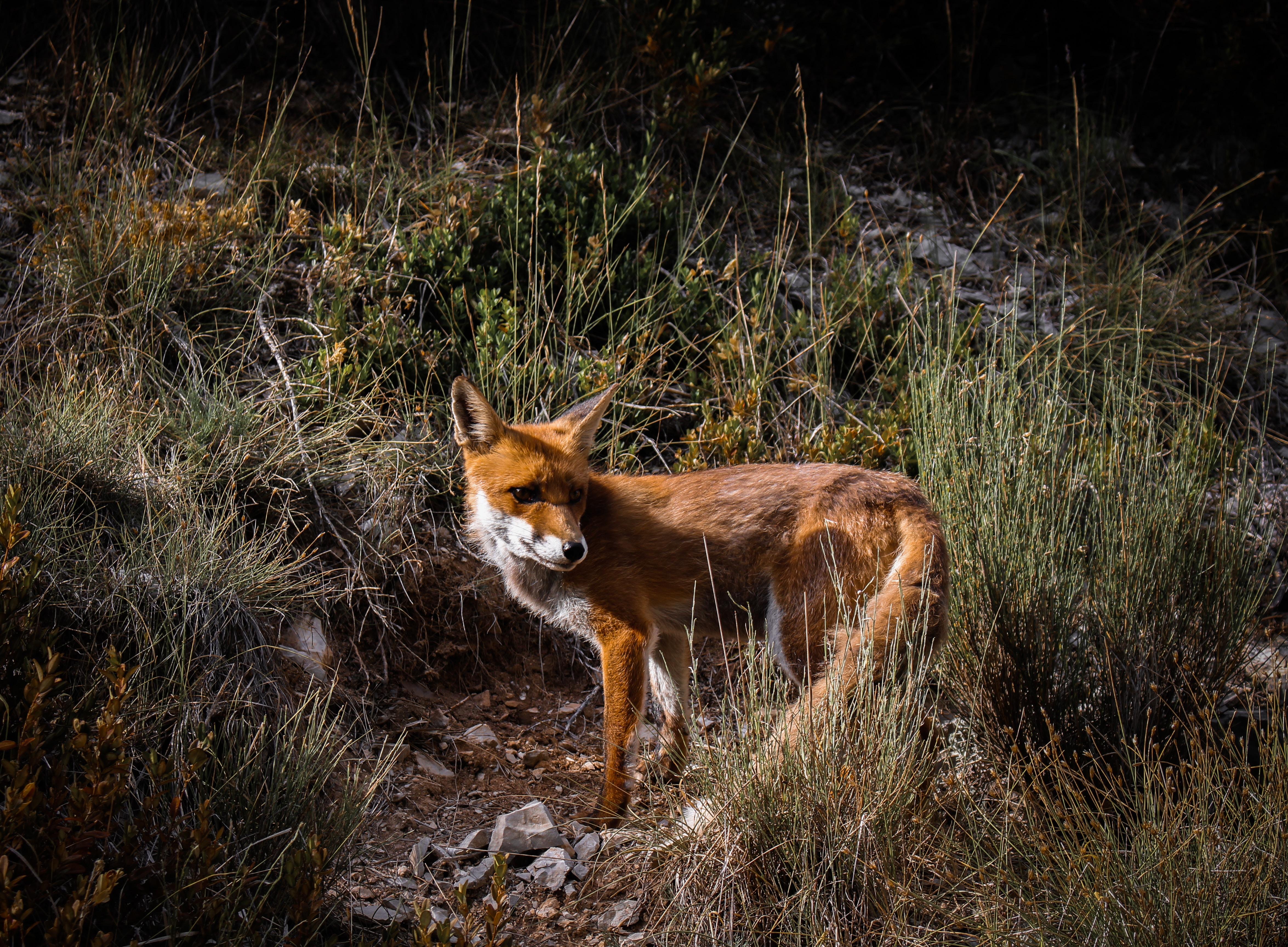 photo of brown fox near grasses