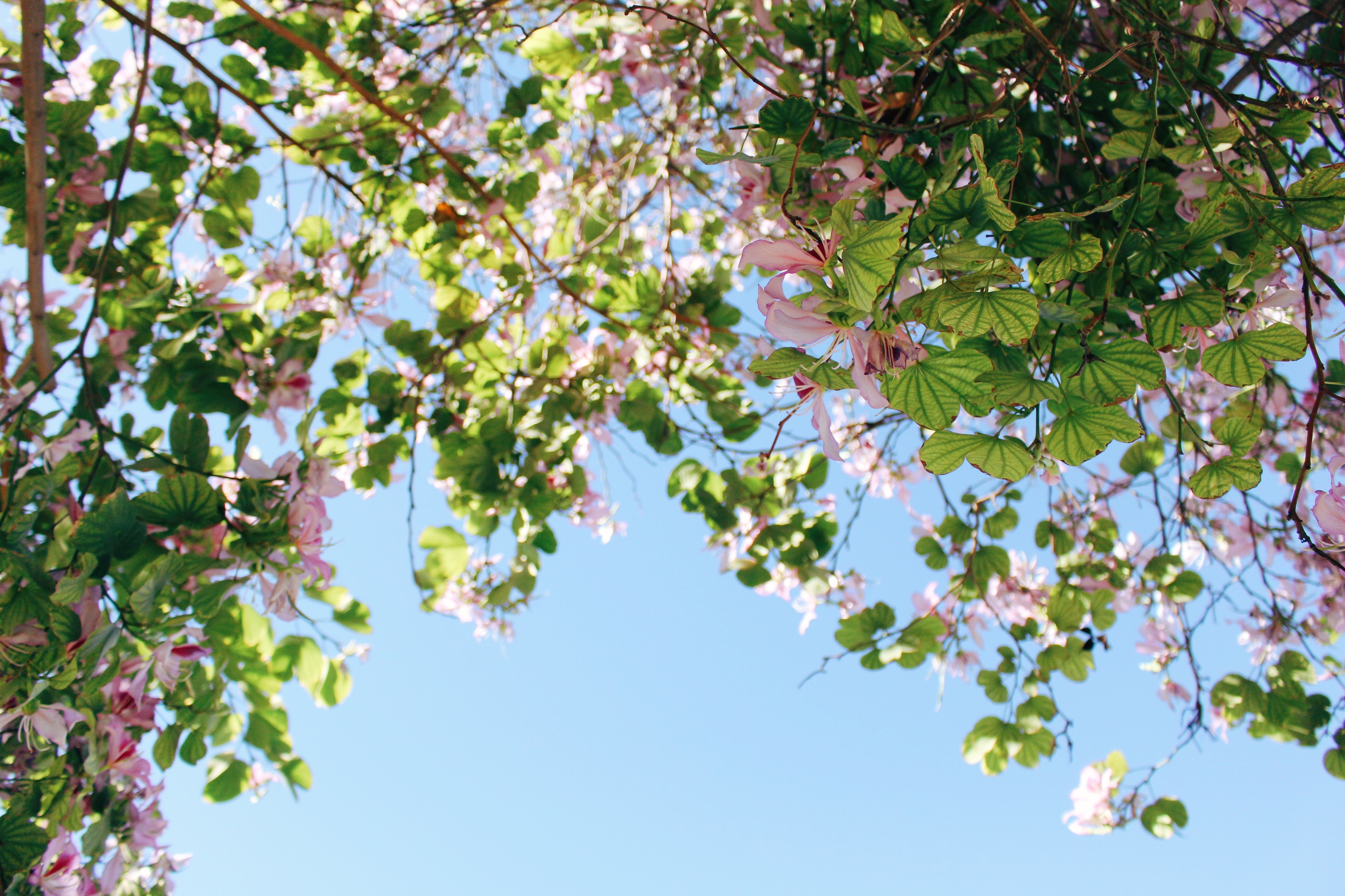 pink flowering tree under blue sky