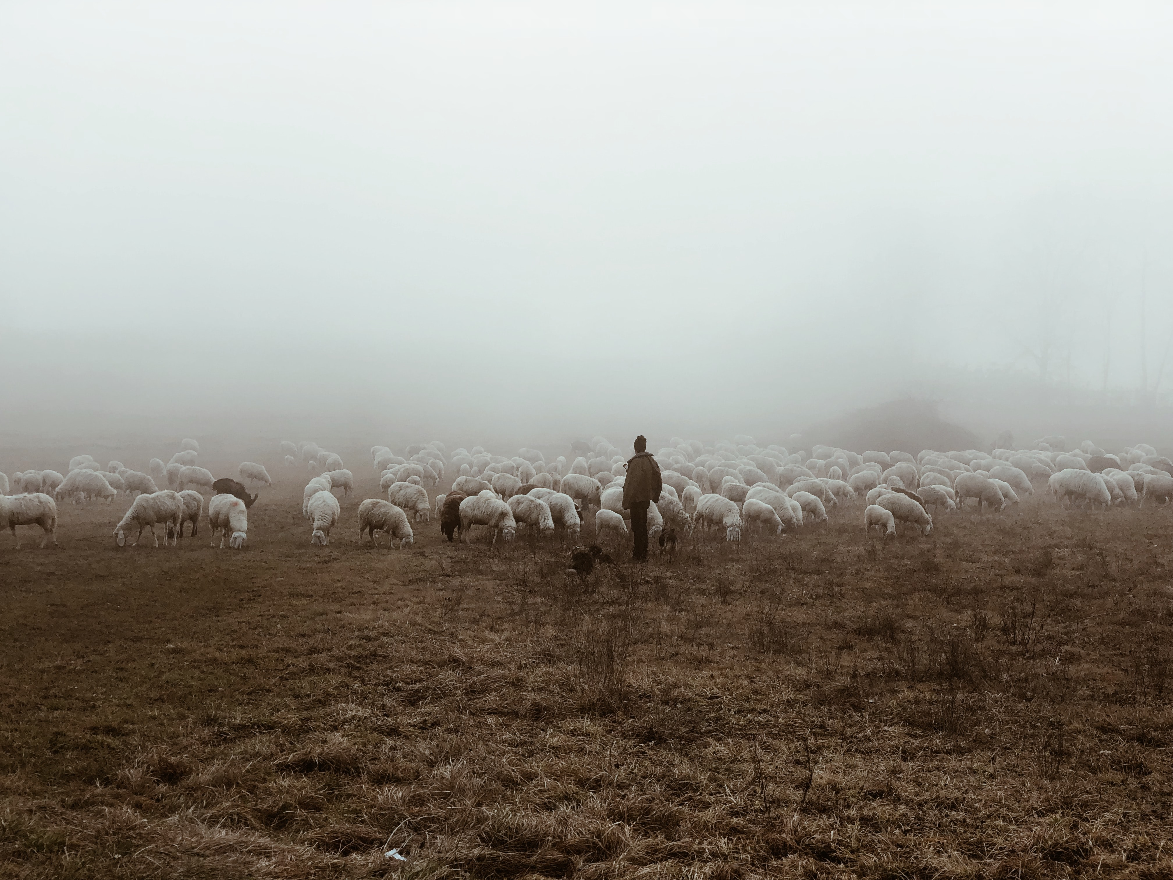 person standing near herd of lambs