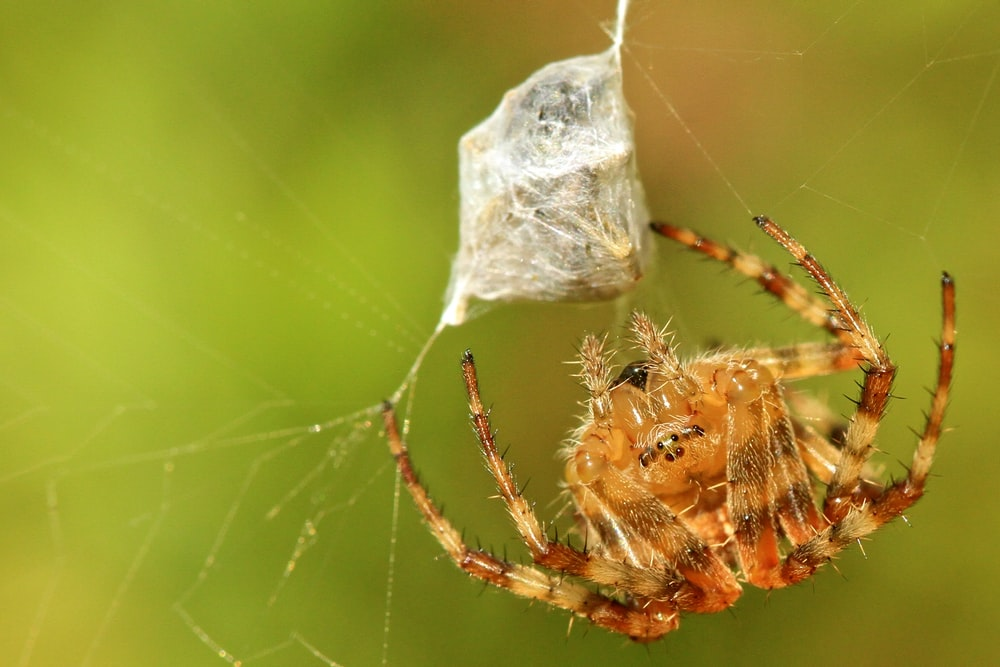 brown orb weaver hanging on web